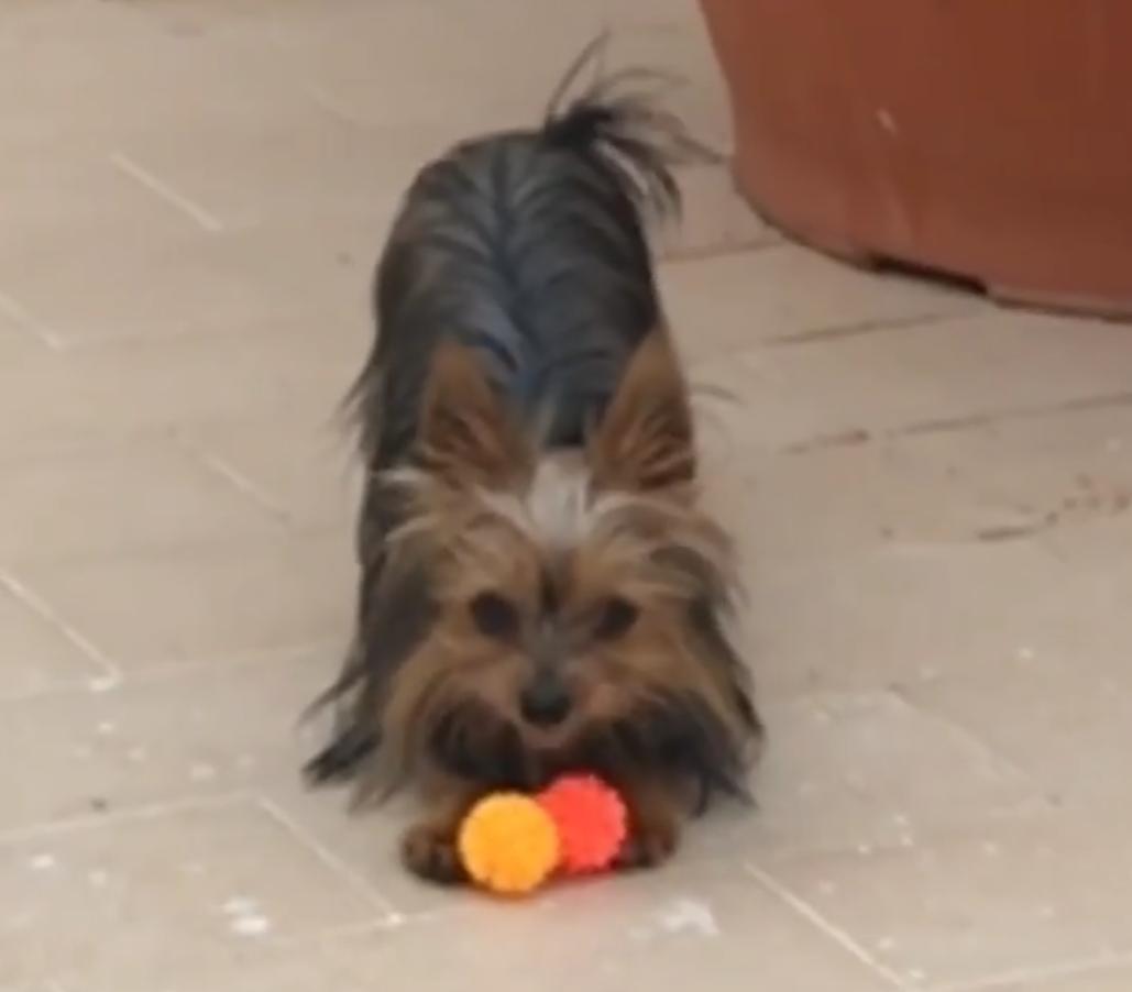 """Gli allenamenti riprenderanno mercoledì, ma Igor Coronado (a suo modo) brucia le tappe. Lo fa a casa sua e in un modo un po' inconsueto, giocando cioè con il proprio cane. A testimoniarlo un video postato sulle storie di Instagram, in cui l'attaccante rosanero insegue il suo cane lanciato in corsa per recuperare la pallina. E per stargli dietro Coronado sembra stia sudando davvero parecchio. FOTO – DYBALA: """"HO TIFATO PER VOI"""" VIDEO – GIALLO VENTURA A LE IENE: """"MAI DETTO CHE MI DIMETTO"""" LEGGI ANCHE FOTO – RELAX A MILANO PER NESTOROVSKI E MARTINA ITALIA – SVEZIA: LE PAGELLE"""